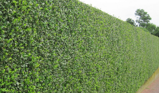 Good Trees for Privacy Screen