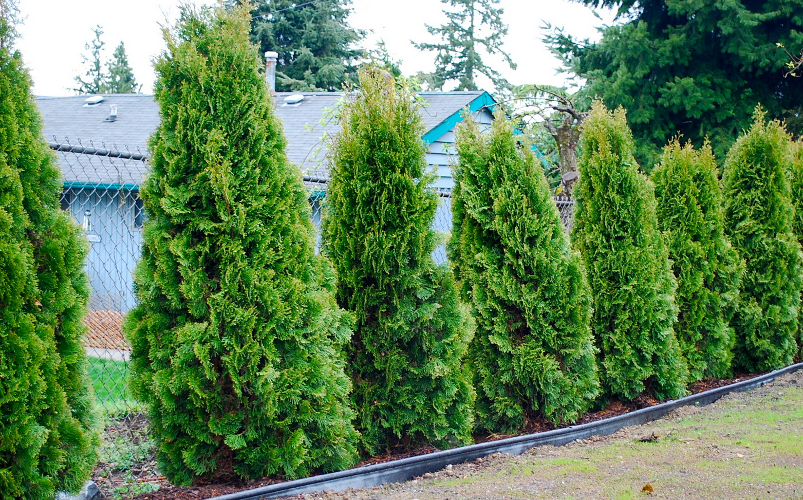 Good Trees for Privacy Screen2
