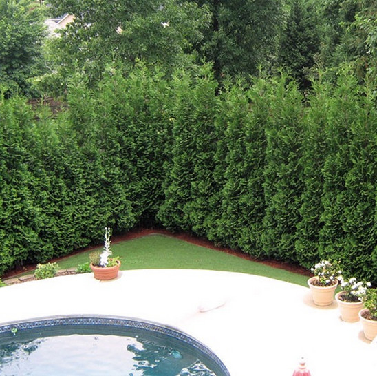 Good Trees for Privacy Screen4